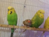 2 Green Budgies for sale