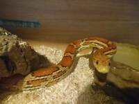 2 cornsnakes looking for a new home