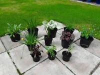 11 x Hardy Garden Plants in Pots - £20 - Glenrothes