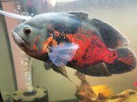 1x Male 8inch Red Map Oscar Fish Cichlid London based seller