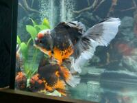 Jumbo Oranda Fancy Goldfish Various EDITED