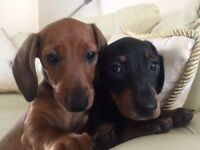 Dachshund 2 minature little girls millie and mollie 9 weeks old