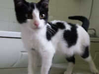 black and white fluffy kitten ready to leave now!