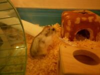 8 MONTH OLD RUSSIAN MALE DWARF HAMSTER WITH CAGE
