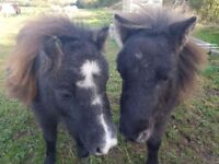 2 mini geldings looking for a new home
