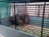 Californian quails for sale.