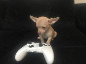 Female Chihuahua Puppy - 9 weeks old