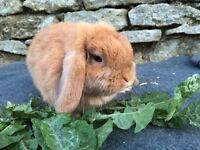 Beautiful orange mini lop doe for sale