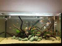 7 Angelfish & Free Pleco