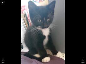 Kitten 1 black and white boy