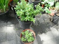Two pots of Hebe shrubs