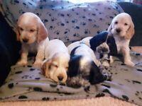 Cocker Spaniel Puppies (KC Reg.)