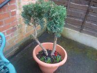 conifer tree in planter