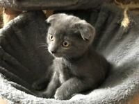 Beautiful grey girl kitten