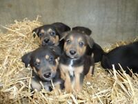 Border collie cross pups