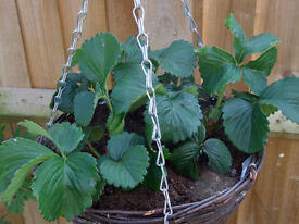 30cm Round Wicker Hanging Basket with 3 well rooted strawberry plants.