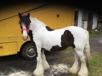 14hh 10 year old coloured cob mare