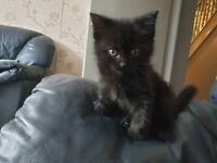 tuxedo kitten 6 weeks old