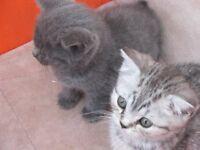 british short haired kittens