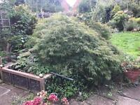 Acer plant tree 5ft tall