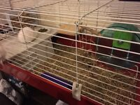 Netherland dwarf rabbit Comes with large cage some food and bale