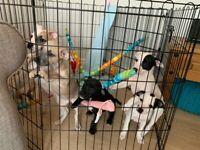 Bullwhip Puppies (French Bulldog x Whippet)