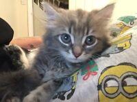 Grey half Persian kittens