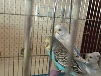 Budgies babys pretty colours from £10