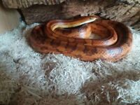 Adult corn snake and set up.