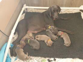 KC Weimaraner Puppies