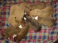 6 staff cross bulldog pups for sale
