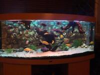 Aquarium Jewel 450 bow and Malawi Cichlids
