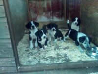 Cross collie puppies for sale