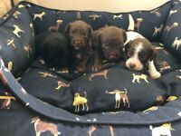 Gorgeous patterdale x toy poodle puppies