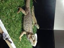 Central Bearded Dragons - Breeding Pair - Complete Set Up Caboolture Caboolture Area Preview
