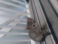 2 kittens from separate litters 9 weeks 1 half bengal