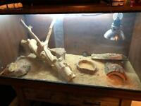 Healthy young bearded dragon for sale