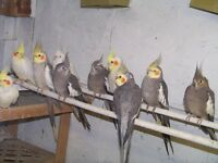lots of cockatiels for sale