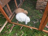 Bonded pair of mini lop rabbits complete with double hutch
