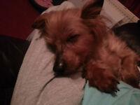 Fuss Loving Older Yorkshire Terrier Needs New Home