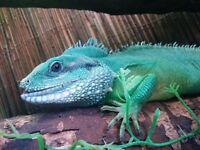 Male chinese water dragon & tank. £150