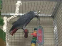 ***NEGOTIABLE*** 3 YEARS+ CONGO AFRICAN GREY (CAG) PARROT