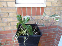 Three plants in a good quality large (24 cm) square pot
