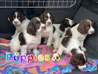 Gorgeous Spaniel puppies for sale