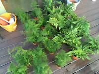 Asparagus fern and English fern plants lot for sale x 21