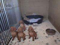Stunning Hungarian vizsla puppies ready now