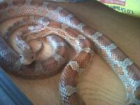 Corn Snakes for sale Collection Only