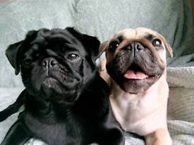 3/4 pug 1/4 frenchie pups