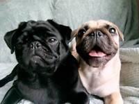 3/4 pug 1/4 frenchie pups