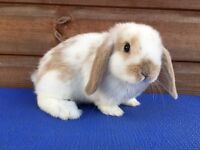 Mini Lop Baby Buck